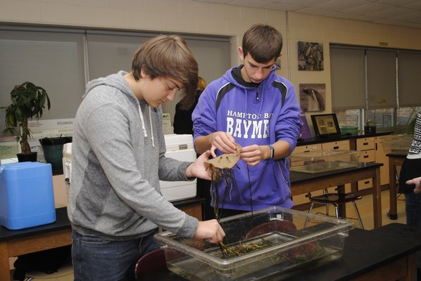 Jared Strecker, left, and Dommy Pensa weave eelgrass in Stephanie Forsberg's tenth grade science research class. AMANDA BERNOCCO