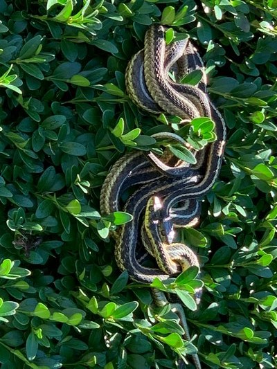 There's at least four common garter snakes basking in this shrub. THOR GINSBERG