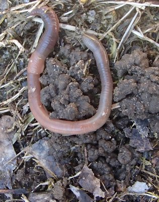 An earthworm and its castings. Note the thickened segment (left) called the clitellum which plays a key role in reproduction. MIKE BOTTINI