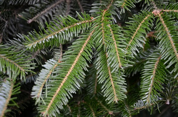 While the Fraser fir (shown here) and the Balsam fir are similar, the Fraser's branches turn slightly upward, have good needle retention, are dark blue-green in color and the are nicely scented. ANDREW MESSINGER