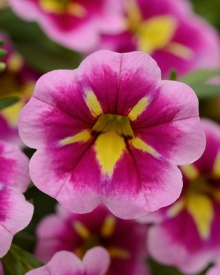 """Calibrachoa """"CanCan Bumble Bee Pink"""" almost has a pansy quality but pansies won't take the heat and hot summer like this plant will. COURTESY NBG"""