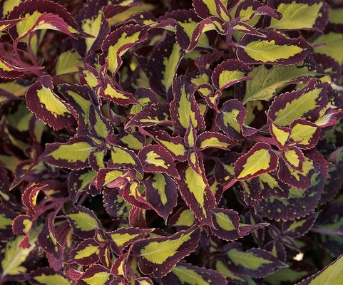 The Saturn variety of coleus grows to 20 inches tall and 2 feet wide. The golden lime leaves are edged in burgundy with margins that repeat the lime green of the interior. ANDREW MESSINGER