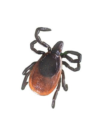 An adult deer tick.