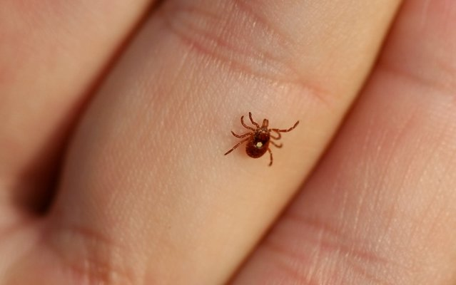 A female lone star tick can be recognized by the white dot on its back. BILL HUBICK By BILL HUBICK