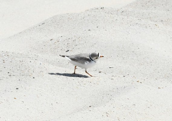 A plover at Shinnecock East County Park.   DANA SHAW