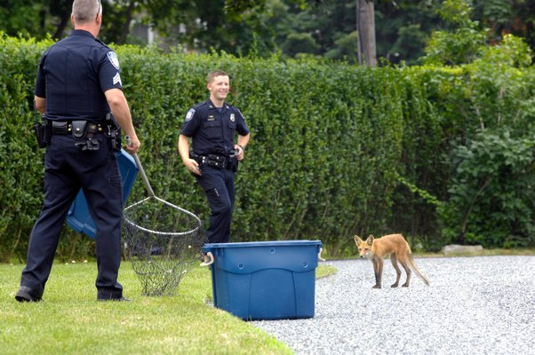July 25: Southampton Village Police and a volunteer from the Evelyn Alexander Wildlife Rescue Center of the Hamptons in Hampton Bays trapped a wayward fox near Bowden Square in Southampton Village.
