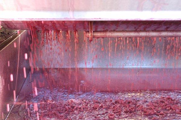 Grapes being pressed at Sagaponack's Wölffer Estate Vineyard on Monday.  DANA SHAW