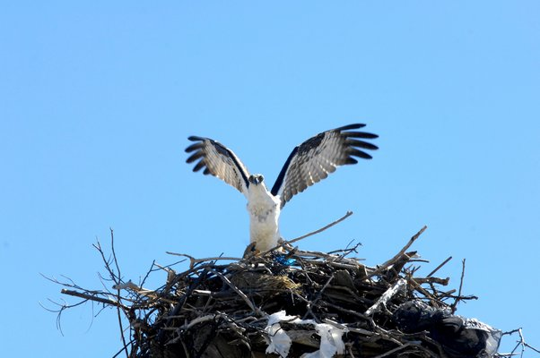 Osprey are migratory raptors that travel down to the Caribbean and South America during the winter and return, in this case along the Atlantic Coast, in mid-March to their nests, typically the exact same nest or one in the exact same area.