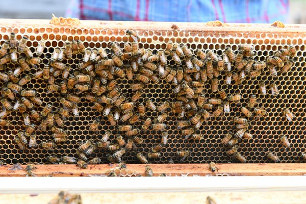 The bees at work at Marder's.  DANA SHAW