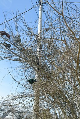The remnants of the osprey nest that was torn down on Monday hang in a tree and are scattered along the road. DANA SHAW