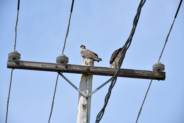 This osprey pair sit atop an electrical pole when their nest used to be along Flanders Road in Riverside on Monday. DANA SHAW
