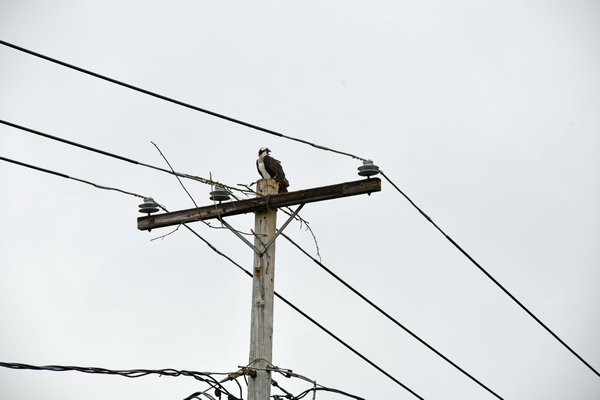 The osprey pair whose nest was taken down on Monday have