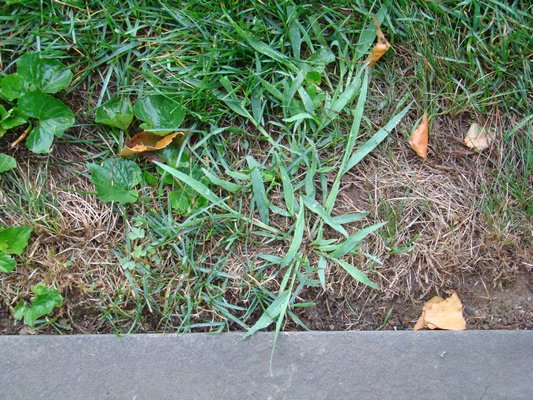 The mother of all lawn weeds, crabgrass, is easy to control and even eradicate. A healthy and vigorous lawn will choke it out and any rogue plants that are spotted can be hand pulled before they go to seed. This single crabgrass plant, if left to flower and seed, can produce hundreds of new plants that will germinate and establish next year. ANDREW MESSINGER