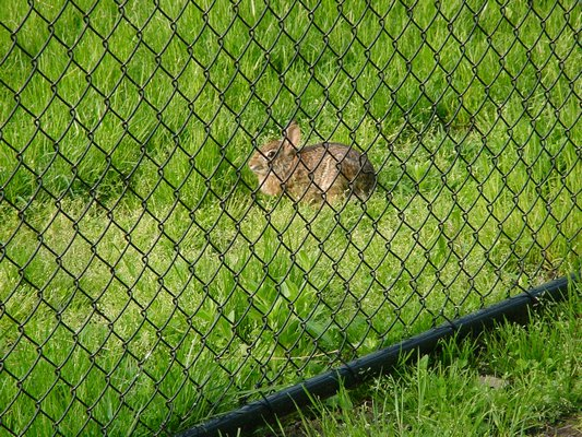 A chain-link fence is only a minor obstacle for a rabbit. Fast and efficient diggers, they can get under fences with little effort. Fencing must be buried nearly a foot deep to prevent rabbit entry. ANDREW MESSINGER