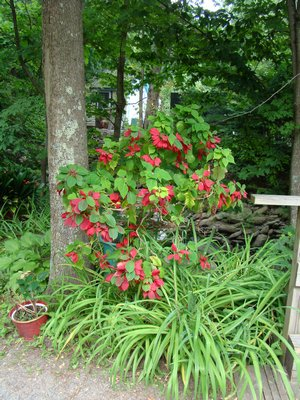 A Poinsettia in full color in a Southampton garden in July--a creative use of this holiday plant as long as you remember it's a tropical and Jack Frost will do it in. ANDREW MESSINGER