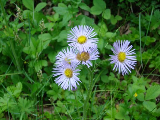In the wild, aster colors can be quite variable. This one is nearly white, but you can find them in purples, pinks, white and near-reds. ANDREW MESSINGER