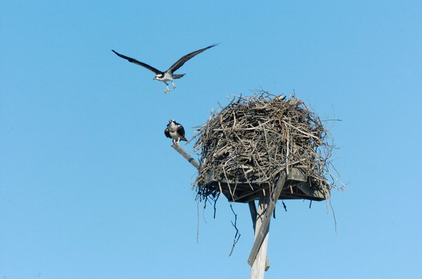 Osprey are migratory raptors that travel down to the Caribbean and South America during the winter and return, in this case along the Atlantic Coast, in mid-March to their nests, typically the exact same nest or one in the exact same area.   DANA SHAW