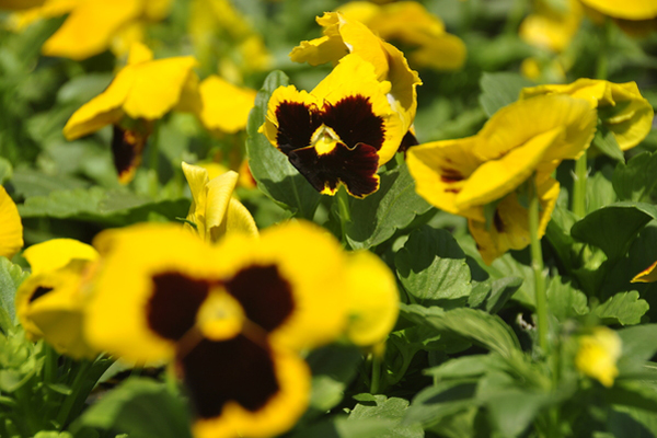 Fall pansies at Hampton Nursery. MICHELLE TRAURING
