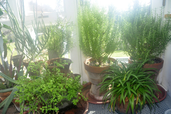 An assortment of potted herbs. MICHELLE TRAURING
