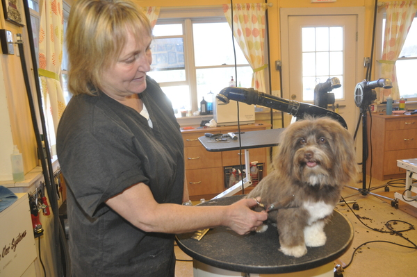 Classy Canine owner Kelly Scammell grooms Teddie, a Habanese puppy, in Southampton. MICHELLE TRAURING