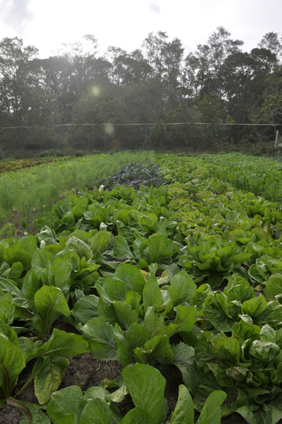 Hearty winter greens at Early Girl Farm in East Moriches.