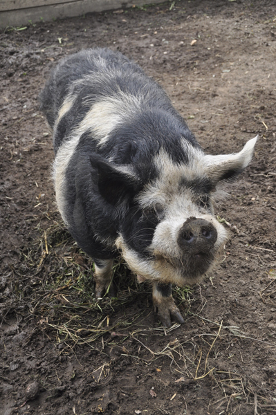 Henry, a resident Kunekune pig, at Early Girl Farm in East Moriches.