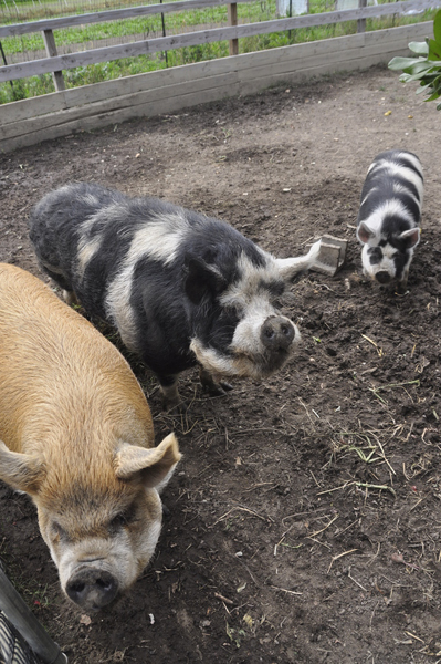Kunekune pigs, from left, Sadie, Henry and Cynthia at Early Girl Farm in East Moriches.