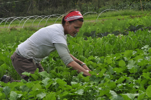 Patty Gentry harvests watermelon radishes at Early Girl Farm in East Moriches.