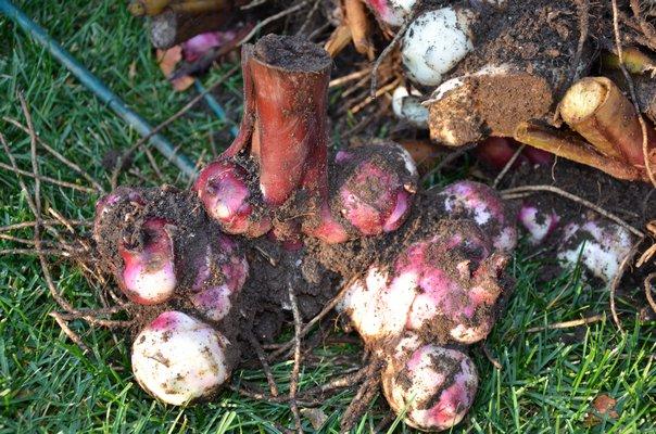 Dig And Store Dahlias Caladiums Cannas And More Tender Bulbs