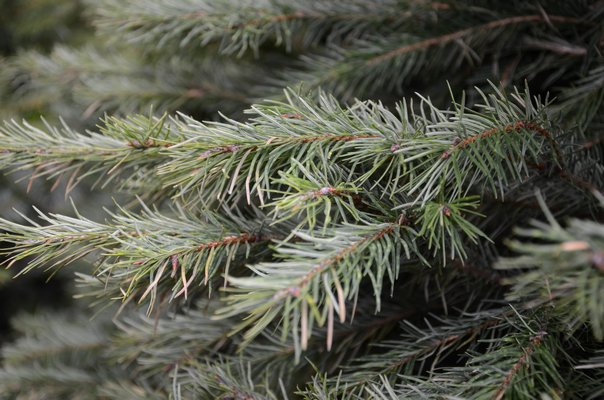 The Douglas fir has soft, dark green needles that radiate in all directions from the branch. When crushed, the needles have a sweet fragrance. This is one of the top-selling Christmas trees. ANDREW MESSINGER