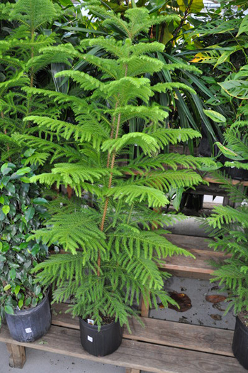The Norfolk Island pine is actually a tropical plant that quickly outgrows its space.