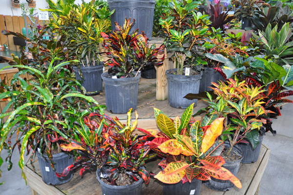 Crotons add great color indoors but don't do well in cold drafty spots.