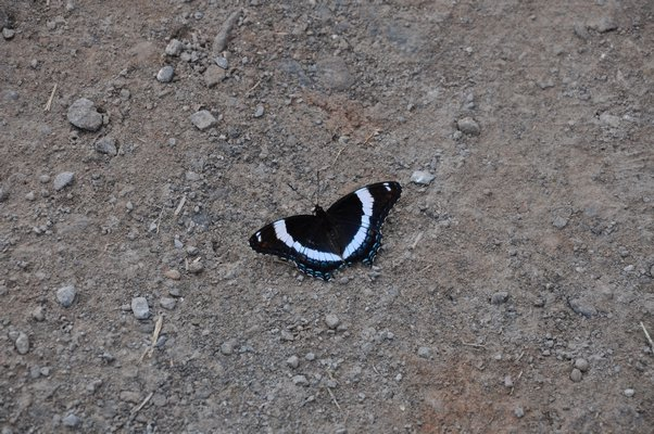 This white admiral can be found in the garden or like here, or as here, resting in the early morning sun. ANDREW MESSINGER