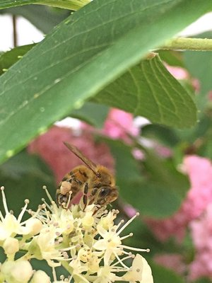 Honeybees. DANA SHAW