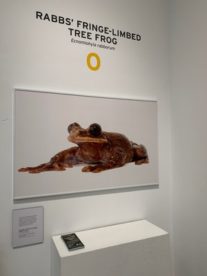Joel Sartore's photo of Toughie, the Rabbs' fringe-limbed tree frog, now extinct at the National Geographic Photo Ark exhibition installed at the Southampton Arts Center. ANNETTE HINKLE