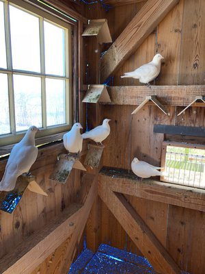 Doves in pen on perches. ANNE SURCHIN