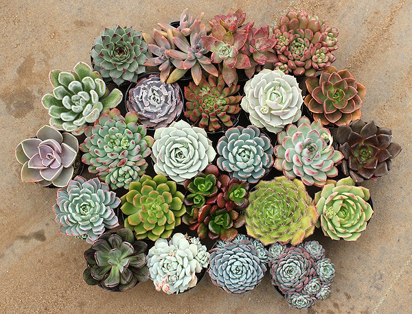 Succulent arrangement from The Succulent Source.