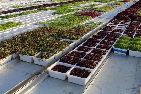 Microgreens at Good Water Farms. ALEXANDRA TALTY
