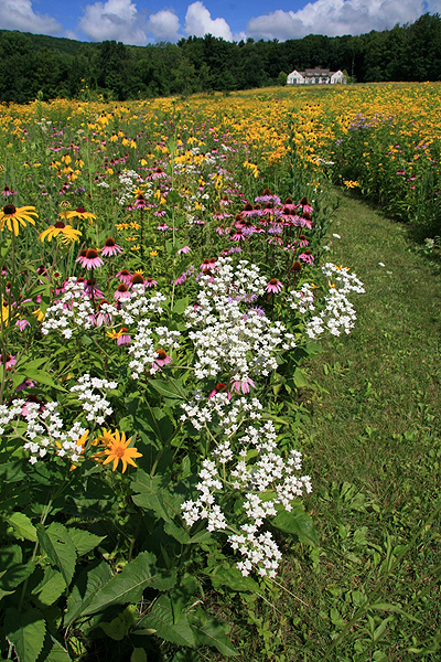 Part of a 40-acre meadow with white wild quinine (parthenicum integrifolium), purple coneflower (echinacea) and golden Rudbeckia.  LARRY WEANER