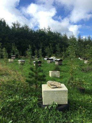Robin Sheen's backyard bees. LISA DAFFY