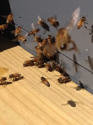 The hive entrance is a busy place on sunny spring days. LISA DAFFY