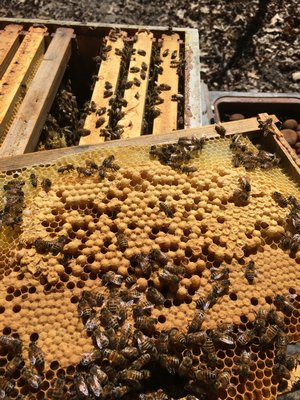 Nurse bees tending the capped brood. The larger bumps are rows of drone brood. LISA DAFFY