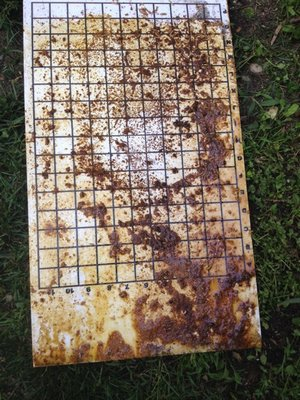 Disgusting gloppy mess left by small hive beetles on the bottom board. LISA DAFFY