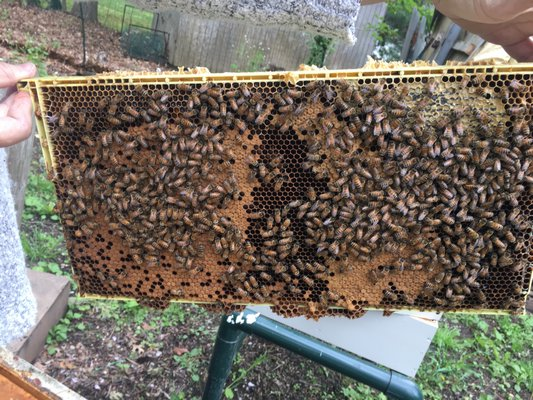 A frame of busy bees. Larvae and eggs in the oval in the middle, honey around the edges.   LISA DAFFY