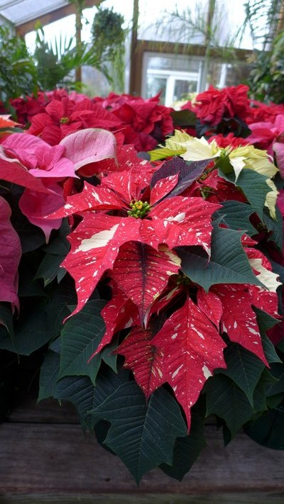 Long gone are the days of just plain red poinsettias. Breeding programs now give us a range of colors as well as patterns in this traditional holiday plant. ANDREW MESSINGER