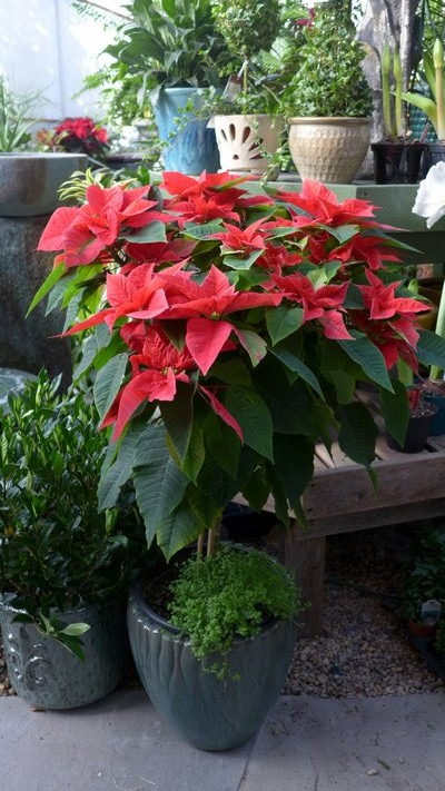 "This poinsettia is referred to as a ""standard"" because it's growing on a 3-foot-tall stem. Points like this are much more expensive because they take longer to grow but they're also more dramatic and allow for a very different type of display. ANDREW MESSINGER"