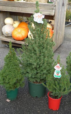Potted Christmas trees come in a variety of sizes and types. Keep them outdoors until just before Christmas plant them right after the holidays in a pre-dug hole. ANDREW MESSINGER
