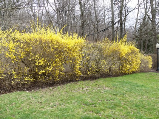 A hacked Forsythia hedge that is thin and has areas that at nearly flowerless. This hedge is pruned several times during the growing season to 'keep its shape' and the result, done by a untrained landscaping crew, looks like this.   ANDREW MESSINGER