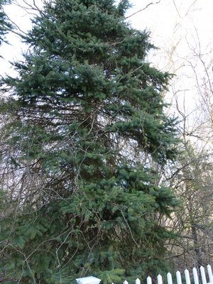 Invasive vines can damage and topple evergreen trees like this Spruce. The vines not only strangle the branches but deprive the tree of sunlight during the growing season.     ANDREW MESSINGER