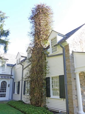 Climbing or creeping hydrangea allowed tof 'adorn' a two story stone and masonry chimney. In addition to damaging the masonry the hydrangea allows various animals access to the eaves and dormers as well as the chimney. A carful look at the top of the chimney in the center reveals a summer nest from grey squirrels.       ANDREW MESSINGER